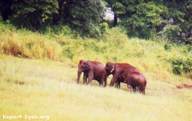Three is a Family: A herd of elephants at the Thekkady Wildlife Santuary, Kerala, India.