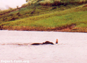 Swimming for survival: An elephant swimming across the Periyar Reservoir, Thekkady, Kerala, India.